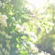 Jasmine shrub with tender white flowers in sunlights — Stock Photo #40434217