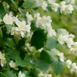 Blooming jasmin bush with tender white flowers — Stock Photo #40434243