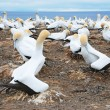 Nesting Gannets — Stock Photo