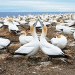 Stock Photo: Nesting Gannets