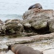 Two sea lions resting on the shore — Stock Photo