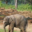 Active baby elephant — Stock Photo