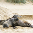 Stock Photo: Two selions resting on beach