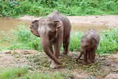 Baby elephant with his mother — Stock Photo