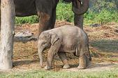 Active baby elephant — Stock Photo