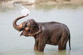 Elephant splashing with water — Stock Photo