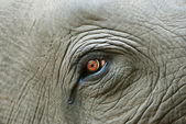 Elephant eye detail — Stock Photo