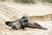Two sea lions resting on the beach — Stock Photo