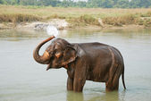 Elephant splashing with water — Stock Photo