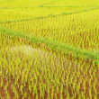 Stock Photo: Rice field in Thailand
