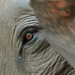Stock Photo: Elephant eye detail