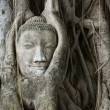 Buddha head entangled by fig tree — Stock Photo