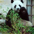 Giant panda eating bamboo leaves — Stock Photo