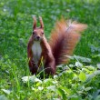 A red squirrel - Stock Photo