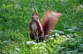 A red squirrel — Stock Photo