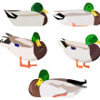 Set of wild ducks — Stock Vector #26091211