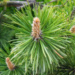 Cones on a branch — Stock Photo