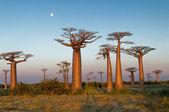 Campo di baobab — Foto Stock
