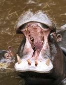 A baby Hippo and A hippopotamus — Stock Photo