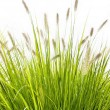 Stock Photo: Grass on white background