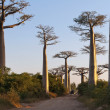 Avenue of the Baobabs - Stock Photo