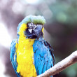Ara ararauna parrot - portrait — Stock Photo