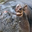 A Hippo, A hippopotamus — Stock Photo
