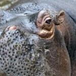 A Hippo, A hippopotamus — Stock Photo
