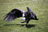 Vulture — Stock Photo
