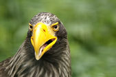 An Eagle — Stock Photo