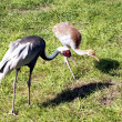 White-naped Crane — Stock Photo