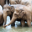 Stock Photo: Herd of elephants in river