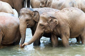 Herd of elephants in the river — Stock Photo