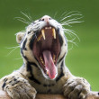 Yawning animal — Stock Photo
