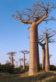 Avenue of the Baobabs — Стоковое фото