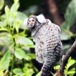 Small monkey - Marmoset - Stock Photo
