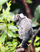 Small monkey - Marmoset — Stock fotografie