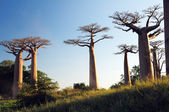 Field of Baobabs — Stock Photo