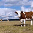 Cows on pasture on - Stock Photo