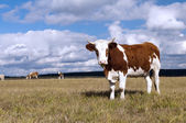 Cows on pasture on — Stock Photo