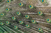 Peacock feathers — Stockfoto