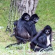 Stock Photo: Spider Monkeys