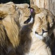 Stock Photo: Lion and lioness, Pantherleo