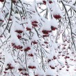 Snow covered rowanberry - Stock Photo
