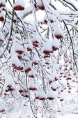 Snow covered rowanberry — Stock Photo