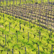 Vineyard in spring — Stock Photo #14815339