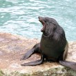 Brown Fur Seal - Stock Photo