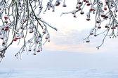 Rowan tree in winter — Stock Photo