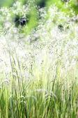 High grass flowering — Stock Photo