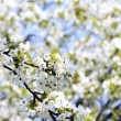 Cherry tree in spring - Stock Photo